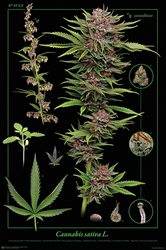 Cannabis Anatomy weed, pot, reefer, marijuana, cannabis